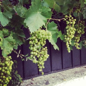 Our neighbors are growing grapes, among other things, in the street.